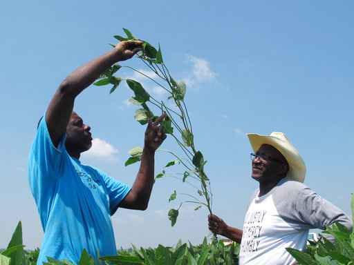 Black soybean farmers claim they were sold faulty seeds