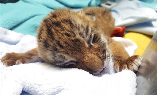 Connecticut zoo announces birth of rare tiger cubs