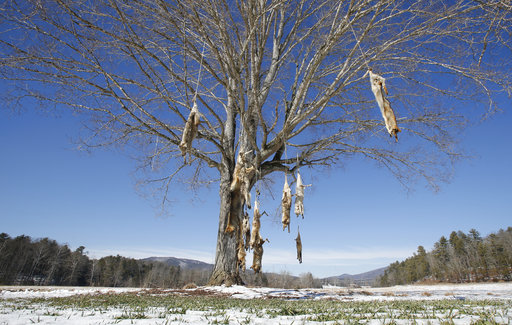 Coyote carcasses strung up from roadside tree in Virginia