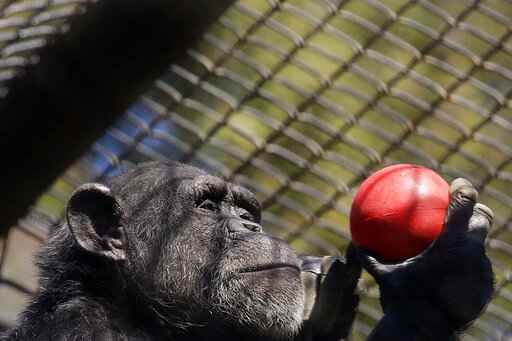 A chimpanzee holds an enrichment treat at the Oakland Zoo in Oakland, Calif., on April 14, 2020. Zoos and aquariums from Florida to Alaska are struggling financially because of closures due to the coronavirus pandemic. Yet animals still need expensive care and food, meaning the closures that began in March, the start of the busiest season for most animal parks, have left many of the facilities in dire financial straits. (AP Photo/Ben Margot)