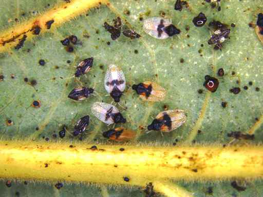 'In this undated photo released by the Hawaii Department of Agriculture shows adults and nymphs of the Avocado Lace Bug, (Pseudacysta perseae).  The avocado lace bug was first discovered in Pearl City, Oahu, in Dec. 2019 and was subsequently identified on Hawaii Island and Maui, the state Department of Agriculture said. Department officials have not confirmed the presence of the bug on Kauai. The infested Maui plants located Thursday, Feb. 13 2020 in retail outlets, were destroyed or treated, department officials said.(Hawaii Department of Agriculture via AP)