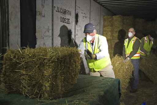 Stan Moll throws bales of hay onto a makeshift table in Anchorage, Alaska, on Thursday, Feb. 13, 2020, so other Iditarod volunteers could place the bales into plastic bags. About 1,500 bales will be flown to checkpoints along the Iditarod Trail Sled Dog Race, which begins March 7, and will be put down on the snow and ice so the canine participants in the race have a warm place to sleep. (AP Photo/Mark Thiessen)