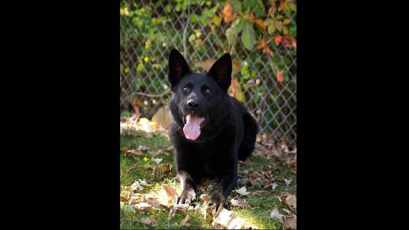 K9 Ambush, who was stabbed during a police chase, is expected to recover