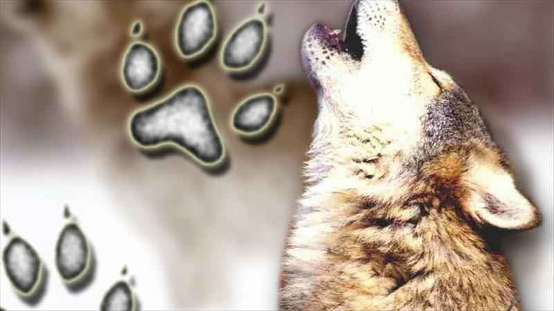 Minnesota Wolf Population Rises by 25 Percent