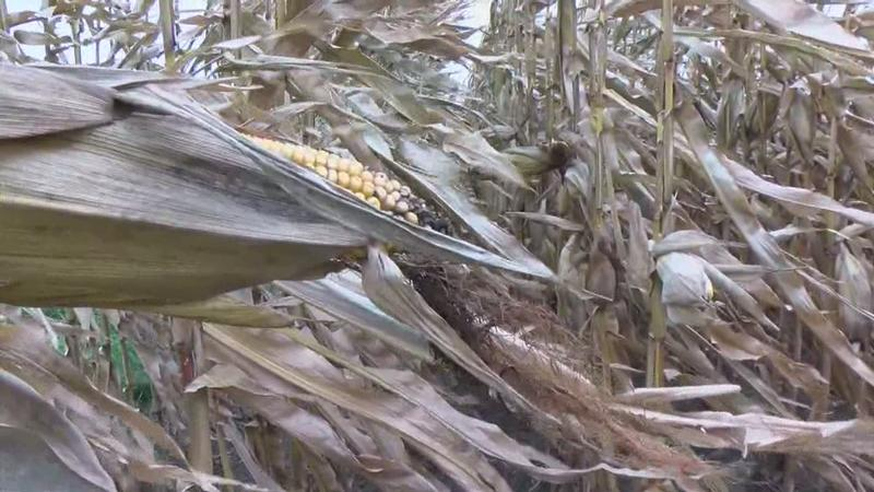 More Rain Delays Harvest