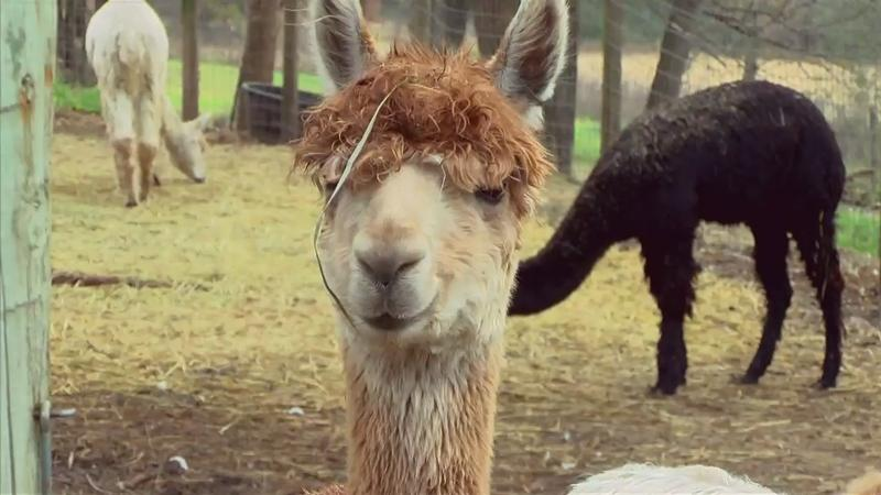 Grant helps Rochester alpaca farm grow through goats