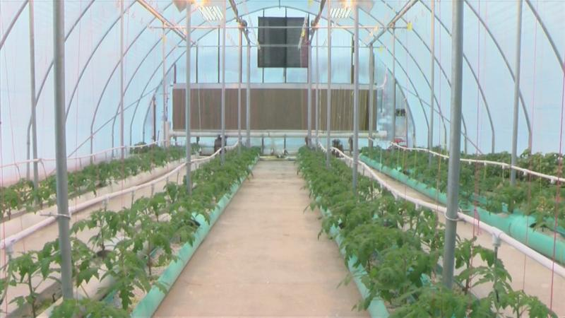 Tomatoes, lettuce grown year-round in Preston
