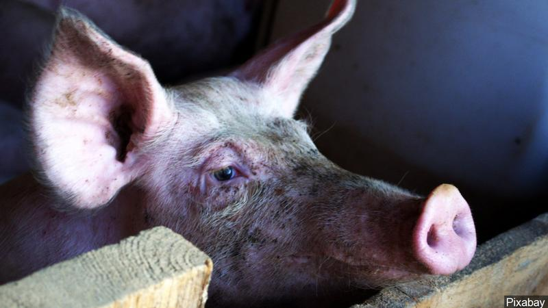 Iowa pork producer: We need year-round immigrant workers