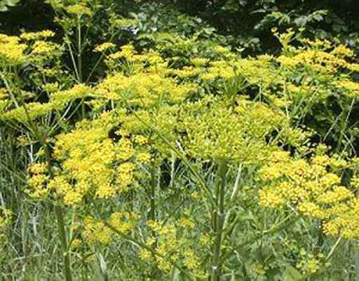 Poison parsnip causes severe burns, blisters on woman's legs