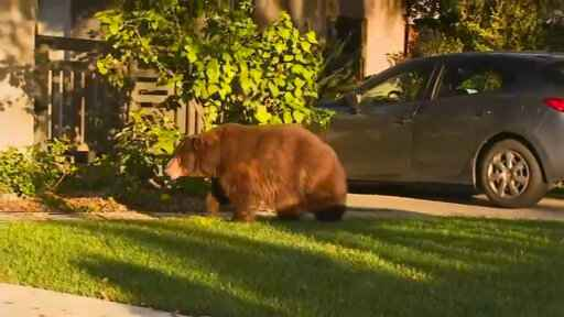 This image provided by KTTV FOX 11 shows a bear walking on the front yard of a home in Monrovia, Calif., early Friday, Feb. 21, 2020.  The bear sluggishly ambled along streets and into backyards in Monrovia, which sits on the foot of the San Gabriel Mountains. The Monrovia Police Department said officers were monitoring the situation and state Department of Fish and Wildlife personnel were summoned.  (KTTV FOX 11 via AP)