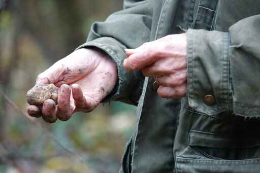 In this photo taken on Sunday, Nov. 10, 2019, a white truffle dug from the earth by Carlo Olivero, who has been hunting for prized white truffles in the hills near Alba in the northern Italian region of Piedmont. (AP Photo/Martino Masotto)