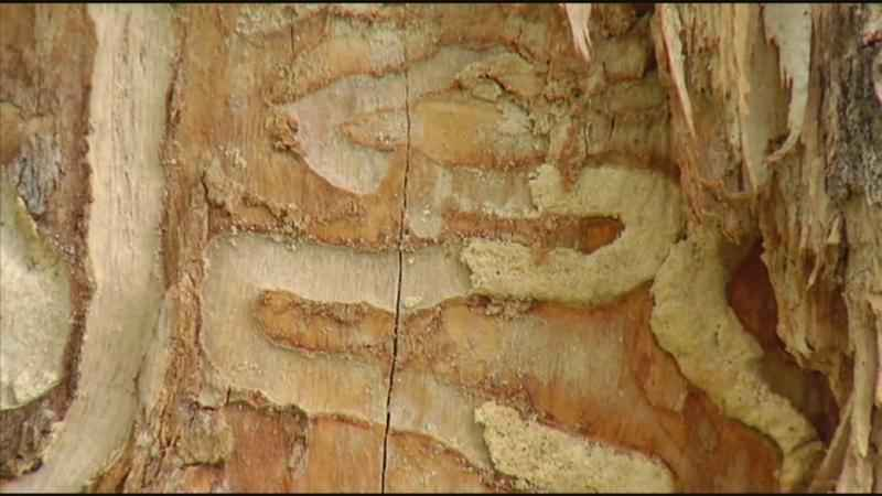 Rochester Parks & Recreation Asks for More Funding to Fight Emerald Ash Borer