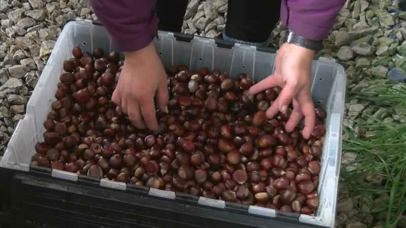 Locally Grown Chestnuts