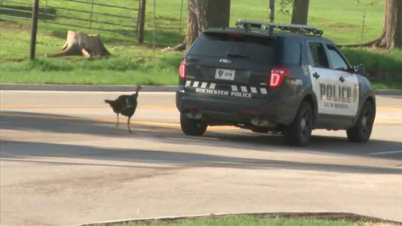 'Jake' the Turkey Gets Police Escort Out of Traffic