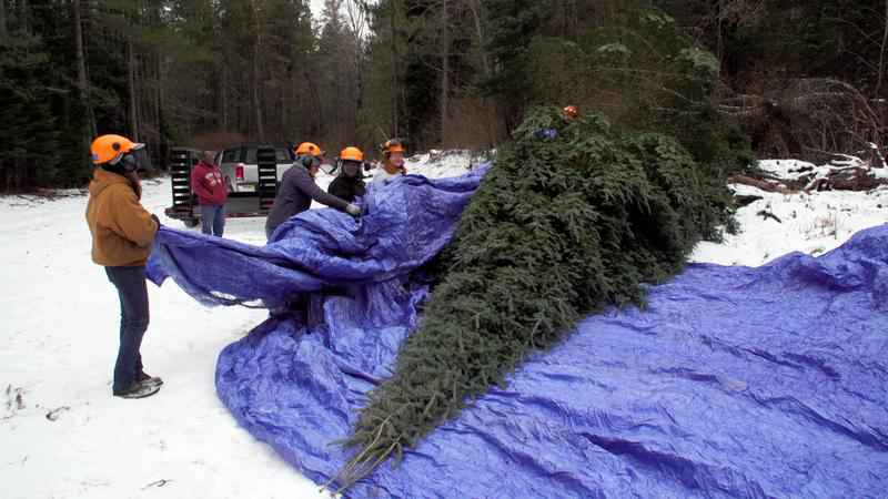 The Official State Christmas Tree Has Been Harvested