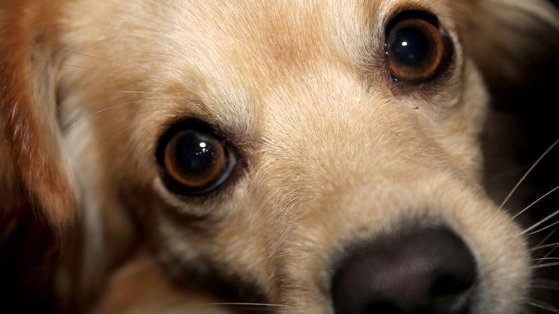 More Cases of Dog Disease Confirmed in Iowa