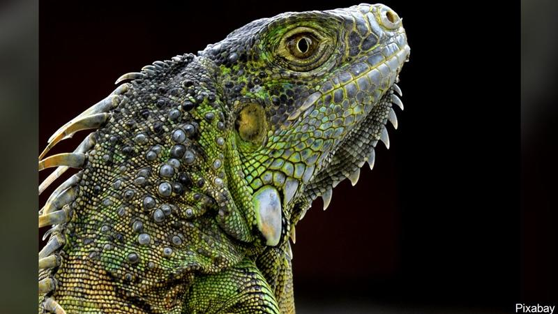 Search Party To Try to Find Iguana in Des Moines Park<br />