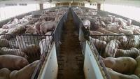 Pork Tariffs Problem for Local Hog Farmers