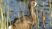Outlook good! Waterfowl season opens tomorrow with more than usual ducks expected