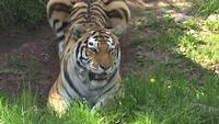Lake Superior Zoo announces death of 15-year-old tiger